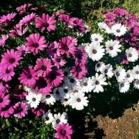 แพชชั่น(Osteospermum Passion Mix)