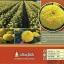 เหลืองสุโขทัย จำนวน 100 เมล็ด thumbnail 3