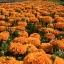 ส้มเชียงใหม่ จำนวน 100 เมล็ด thumbnail 7