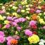 แพรเซี่ยงไฮ้,Sun Plant 300-500 เมล็ด thumbnail 1