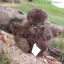 หมีสีน้ำตาลเข้ม ขนาด 13 ซม. thumbnail 4