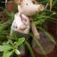 ตุ๊กตาหมู ขนาด 21 cm. - Piggory thumbnail 6