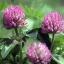 Red Clover Plus thumbnail 4