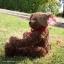 หมีเท็ดดี้สีน้ำตาลเข้ม สูง 31 ซม. thumbnail 3